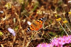 Come fly with me (valerius25) Tags: sardegna canon butterfly sardinia farfalla arbus 400d portopalma mediocampidano valerius25 tunaria valeriocaddeu