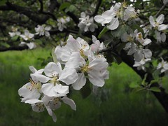 apleblossom2 (Ylva Budsj - on and off) Tags: flower visa appleblossom natuer ngs