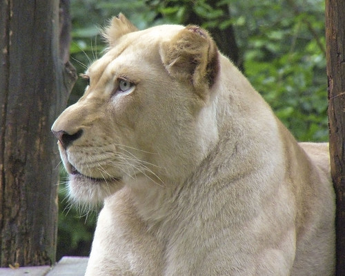 White Lioness - Natural Beauty