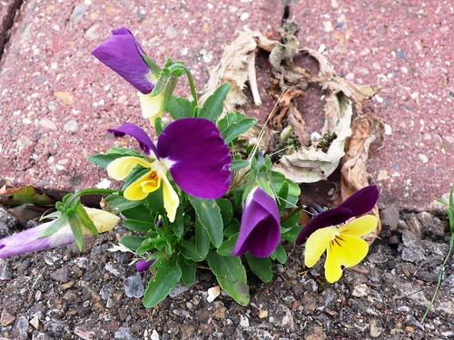Pansies in the concrete, Hornchurch
