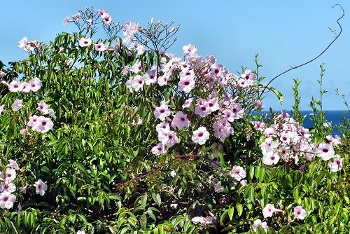 Pandorea jasminoides (rq) - 03