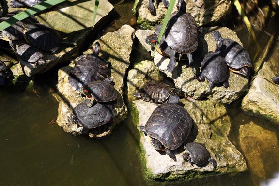 aquarium turtles
