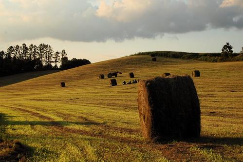 夕方の牧草地