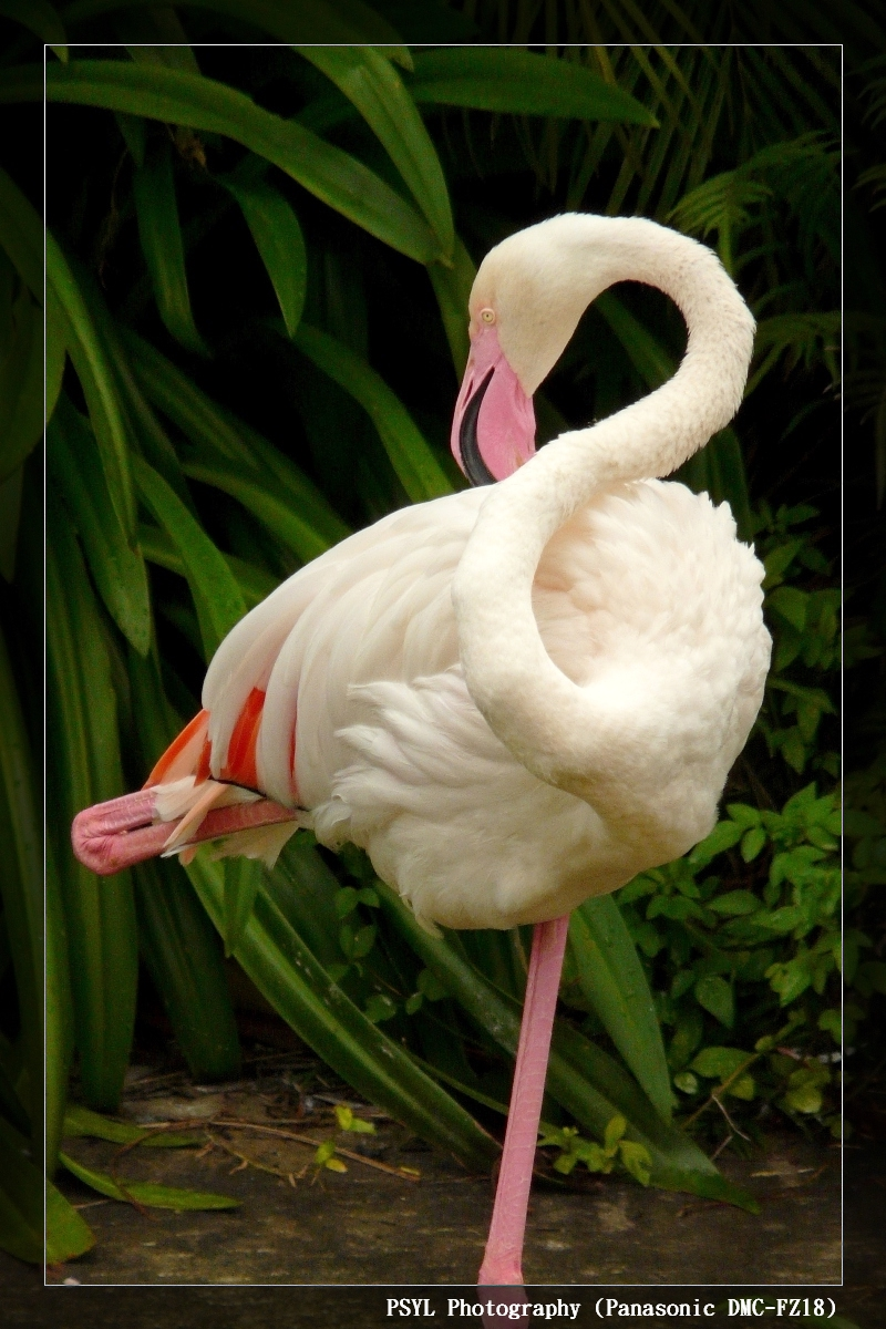 Greater Flamingo (Phoenicopterus ruber) - 大紅鶴