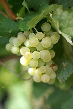 Ugni grapes