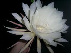 flor grande e perfumada nilgazzola (nilgazzola) Tags: flowers de grande big foto orchids flor linda noturna ou com orquidea branca bromelia tirada maquina belissima 25cm nilgazzola