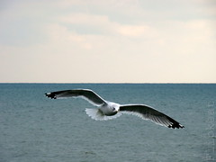 Let The Wind Chase You (flipkeat) Tags: bird nature port outdoors inflight wildlife seagull gull awesome ring credit mississauga birdwatcher larusdelawarensis billed golandbeccercl explorewinnersoftheworld dsch50 thewonderfulworldofbirds slbinflight naturescreations apipizcapinta