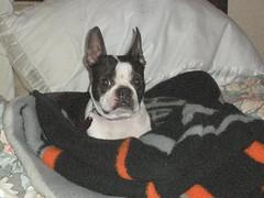 spanky (mark owens2009) Tags: boston terrier spanky
