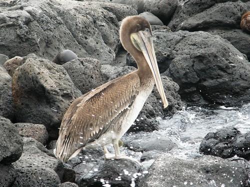 Santa Fe,, pelicano 1