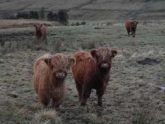 Hairy coos in Carronbridge (looby_34) Tags: hairy some cooooos