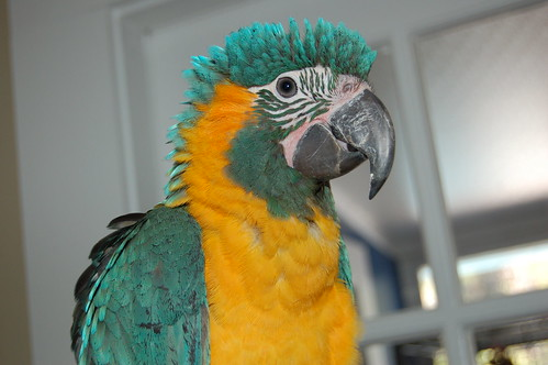 Parrot Emergency Care | Blue Throat Macaw