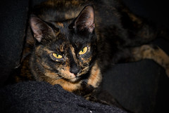 Carbomb Reclines (cwbuecheler) Tags: cat feline glare kitty tortoiseshell calico tortie carbomb nikond60