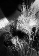 _2074800 (Adisla) Tags: dog macro olympus bn perro mf 28 manual e3 cuca fd 105mm kiron cruzadas