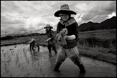 Three women (••fly••) Tags: sky thailand women asia rice karen nb ricefield burmese workingpeople maehongsong ••fly•• simonkolton