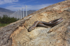 Rosy Boa (krystaltronboll) Tags: three riverside snake boa rosy lined lichanuratrivirgata
