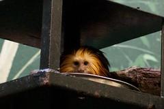 Peek a boo Monkey