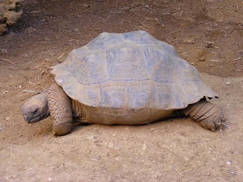 Galapagos tortoise (Geochelone nigra)