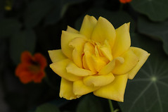 Gold Meda (JGeertsen) Tags: roses rose goldmedal