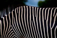Zebra Crossing (Choc Doc) Tags: black animal fawn zebra mane tufty