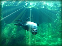 Everything's Upsidedown! (socalgal_64) Tags: ocean california ca sea water swimming mammal aquarium marine pacific sealife socal longbeach aquatic sealion abigfave colourartaward platinumheartaward 100commentgroup