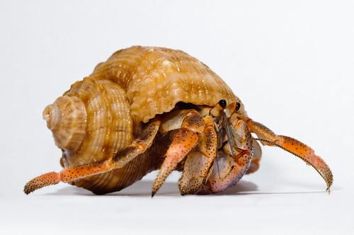 Hermit_crab-11