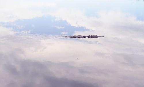 gator skies