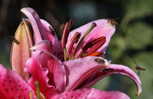 Hoverflies on a Lily