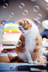 bubblecat (besimo) Tags: pet lamp cat paper table book eyes desk room bubbles sheets soapbubbles tomcat tiga seifenblasen f20 85mm18d d700 besimmazhiqi