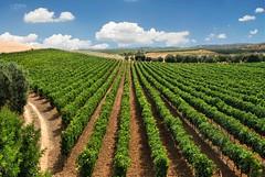 Prospettive di Cannonau (Tati@) Tags: sardegna flickr mediterraneo explore mind frontpage hive vino gmt greatphoto coltivazione cannonau vitigno goldenart