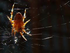 Drop Catcher (frazz46) Tags: sunlight macro nature backlight spider drops web waterdrops spidersweb cubism raynoxdcr250 pdpnw buzznbugz acg2ndplacewinner