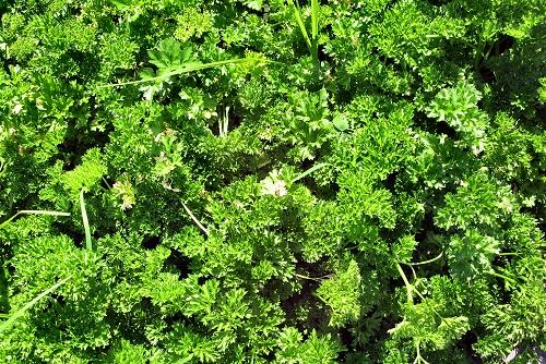 Petroselinum crispum (rq) - 02