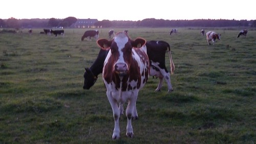 holland blog cows