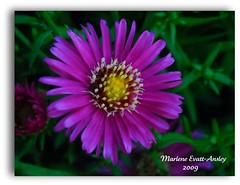 Purple Aster hybrid