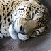 contented jaguar