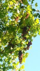 Grapes in the  Hunza Valley - Pakistan (The Beauty of Sri Lanka) Tags: pakistan valley grapes hunza