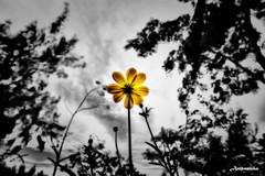 Inspire (Yellow Daisy To Sky) /  () (AmpamukA) Tags: sun flower color yellow photoshop like inspire select      ampamuka