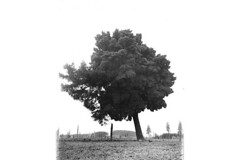 Single large tree leaning to left, Washington state by UW Digital Collections