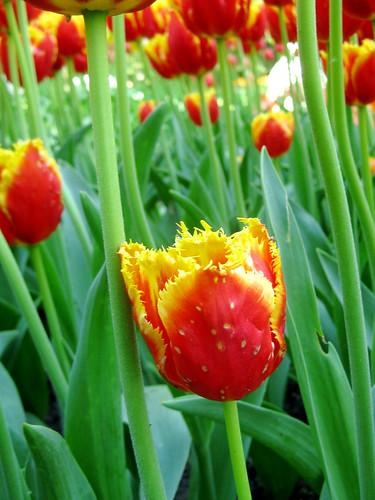 "Tulips (""Davenport"")"