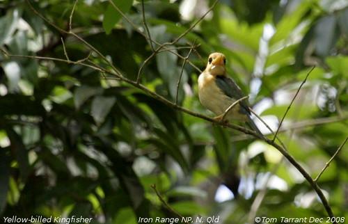 Yellow-billed Kingfisher (Syma torotoro) by aviceda.