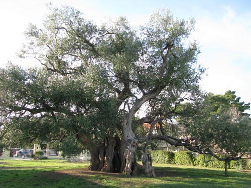 Old Olive Tree (10)