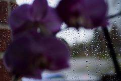 beauteousness behind beauteousness (nichtmehrIch) Tags: flower rain outside inside behind beauteousness