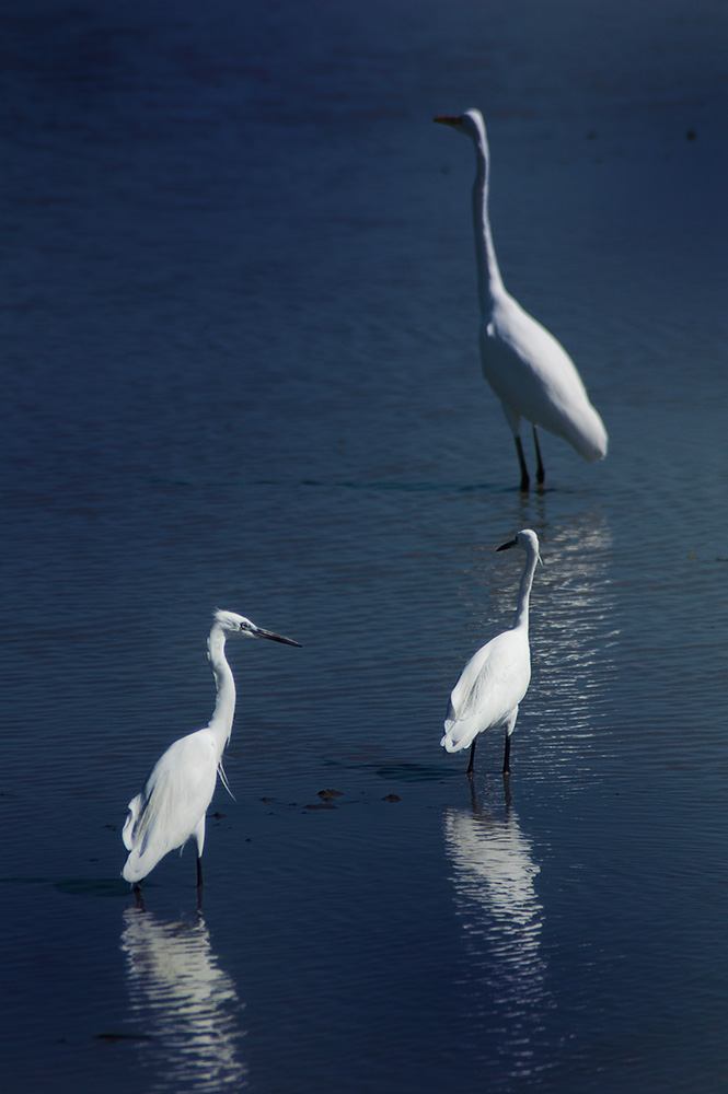 Egrets of Candaba
