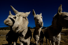 discord (zyrcster) Tags: ranch animals colorado donkeys parkcounty sigma1020mmf56 pfogold pfosilver