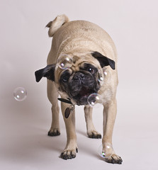 Bubble Dog { Explored } (Travis Lawton) Tags: dog photoshop canon stock pug bubbles boxerdog explore bark bite 50mmf14 toydog puppydog lightroom pugdog pugmix pugpuppy stanly blackpug poodledog maltesedogs dogclothes newfoundlanddog dogtraining petdog pugdogs pugpuppies stockimage dogadoption dogbreed chinesepug pugrescue dogbreeds chihuahuapug dogsale dogchihuahua maltesedog strobist dogbreeder studdog miniaturedog 40d dogforsale blackpugs pugpictures dogbreeders beagledog dobermandog doghealth dachshunddog pomeraniandog yorkiedog pugforsale adoptdog dogmix puppiesdog havanesedog blackpugpuppies puggledog dogpups pugpuppiesforsale puggledogs pugbreeders pugdogsforsale pugpets pugsale pugsforsale pugbulldog dogteacup dogspugs freepug maltesedogsforsale pugadoption travislawton travislawtonphotography