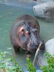 Hippo at the Los Angeles Zoo