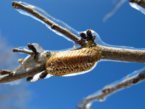 an old empty preying mantis egg case, covered in a layer of winter ice
