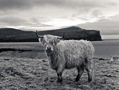 Highland Cow in Black &White (John Mickleborough) Tags: white black skye scotland cow highland isle digitalcameraclub flickrsbest blackwhitephotos aplusphoto