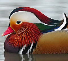 Mandarin (earlyalan90 away awhile) Tags: breathtaking pictureperfect naturesfinest platinumphoto aplusphoto goldstaraward flickrlovers breathtakinggoldaward 100commentgroup