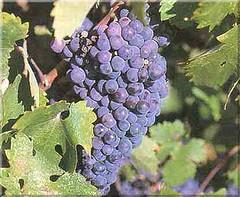 ¿Es Carménère la estrella de los vinos chilenos?