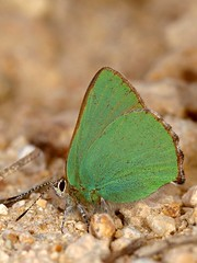 Callophrys rubi (diegocon1964) Tags: lepidoptera lycaenidae papilionoidea lycaeninae callophrys callophrysrubi eumaeini